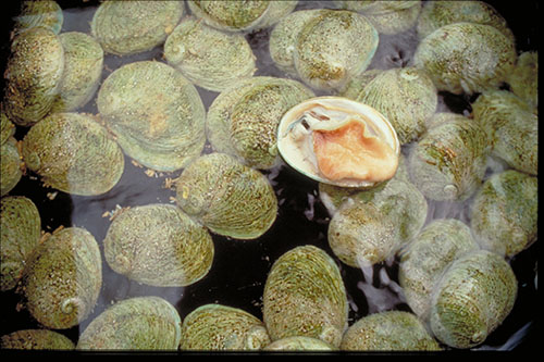 Reducing canning losses in the abalone industry