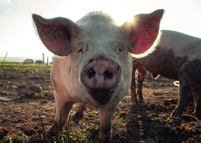 Food Waste to Pig Feed – Safe and Bio-secure