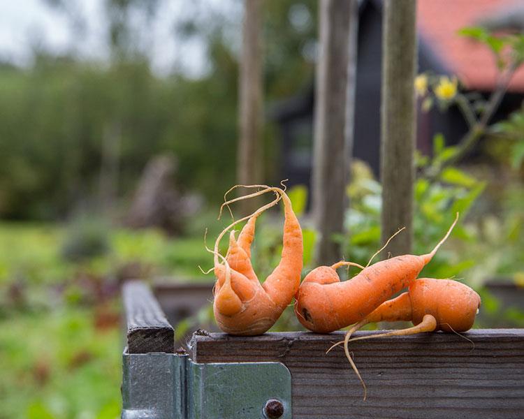 Carrots beside vegetable garden